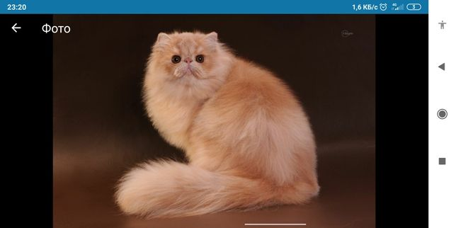 Персидский кот. Вязка.