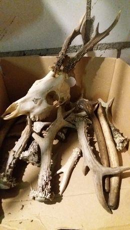 Zrzut rogów rogi porostki poroze 12 sztuk plus czaszka