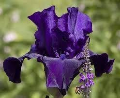 IRYS Primula (Kosaciec) ok. 25 cm