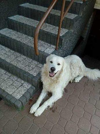 Pies owczarek podhalański