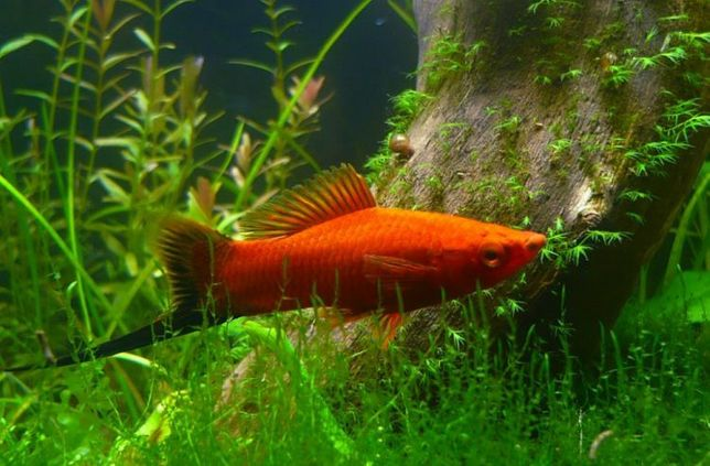 Рыбки аквариумные меченосец мальки