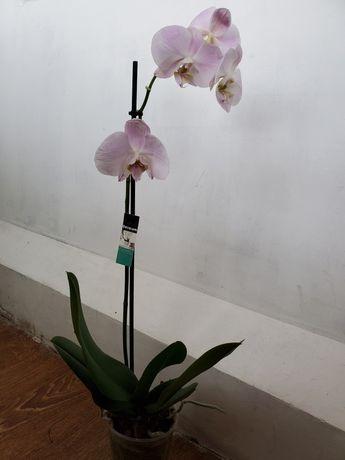 Орхидея.  Орхидеи.Цветы.