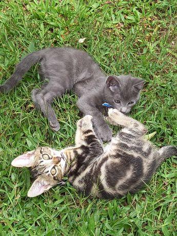 Dá-se gatinhos irmãos