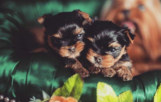 Йоркширский терьер замечательные щенки