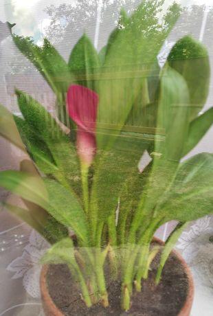 Цветущая сиреневая калла