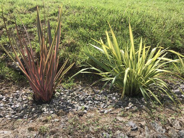Planta Phormium tenax