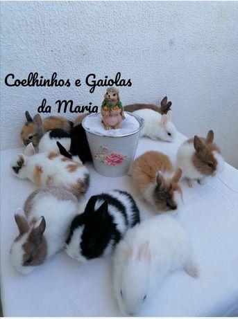 KIT Coelhos Anões Bebés, Mini Teddy, Mini Holandês, Mini Toy, Ãngora