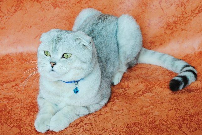 Шотландский вислоухий котик ждет шотландочек в гости