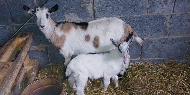 Kozy/Koza matki karmiące z młodymi