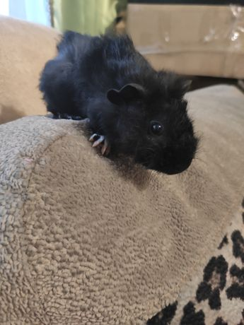 Мосрская свинка ( мальчик)