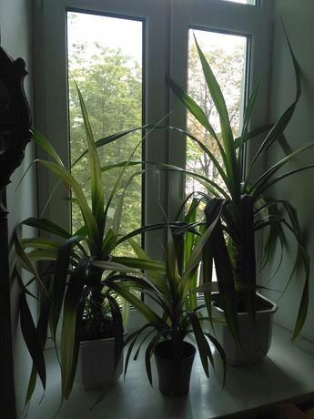 Пальма панданус. Разные размеры.