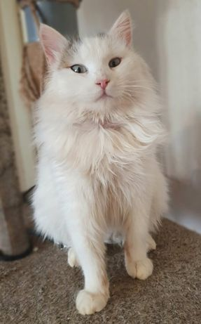 белый котик 8 мес. Котики, котята, кошечка, кот
