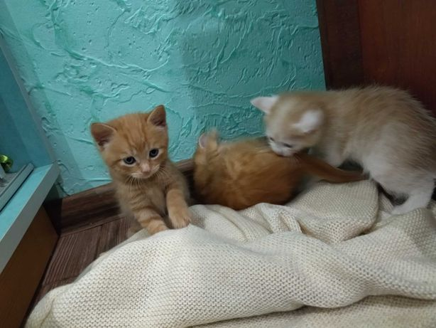 Віддам котят, народились 21 травня, 3 хлопчики 1 дівчинка