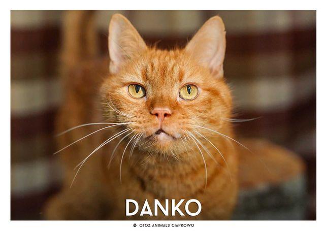 Znaleziono rudego kota-Danko śliczny słodziak gotowy do adopcji!!