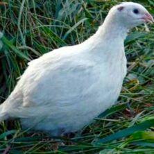 инкубационное яйцо Техасского белого перепела и З.Феникса