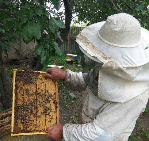 Пчелиные матки Кордован, Лигустика