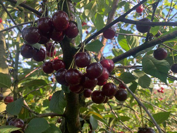 Wiśnie bezpośrednio z sadu 3,50 zł/kg