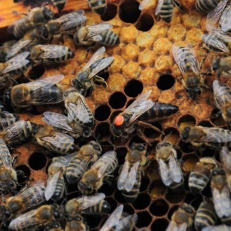Матки 2021г. Карпатскі Бджоли Карпатка (Вучковская) Трудолюбивые