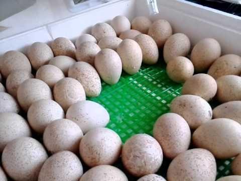Отборные индюшиные яйца инкубационные БИГ-6, БЮТ-8 яйца индеек.