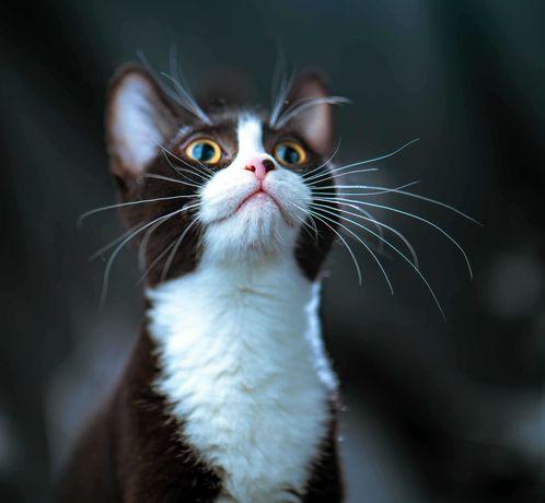 Котята британцы короткошерстные