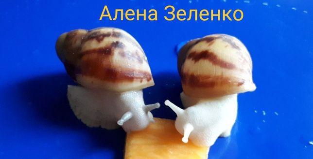 Архахатина Маргината Сильвер и Альбино
