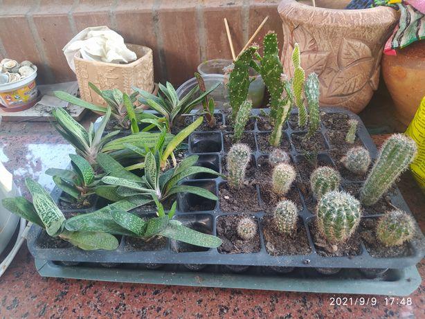 Обменяю или продам кактусы и сукуленты