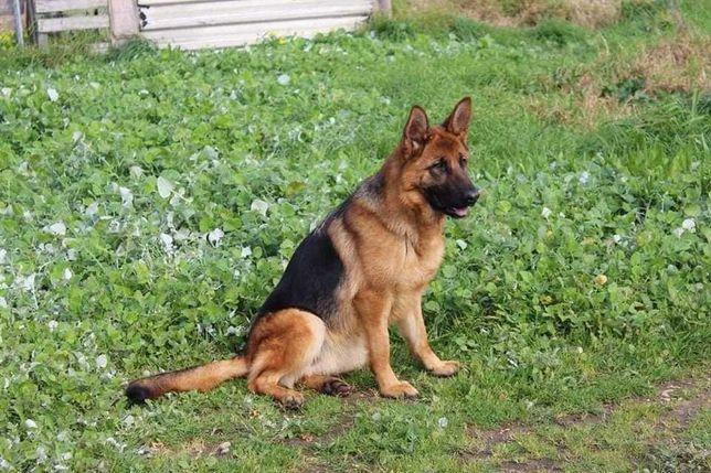 Cachorro de raça Pastor Alemão