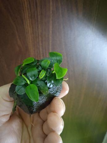 Anubis Nana Petit/anubiasy/rośliny akwariowe/roślina do akwarium