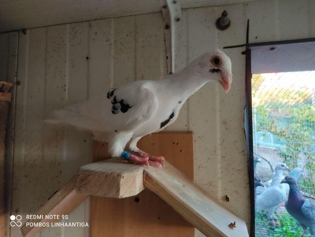 Pombos correios adultos