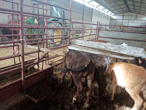 4 Vitelas, 2 vitelos cruzadas de Angus e Limousine 3-5 meses