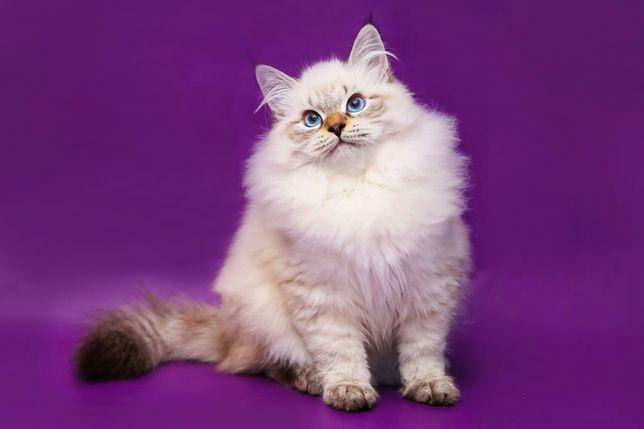 Котята Невские маскарадные !!!