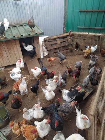 Vendo frangos caseiros