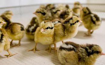 Продам курчат: бройлери КОББ-500, мясояєчні породи.Індики, Гуси. Качки