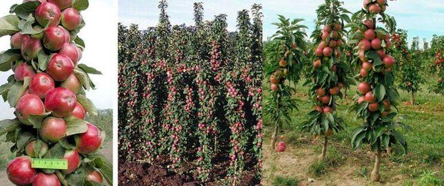 Саженцы колоновидной яблони и груши