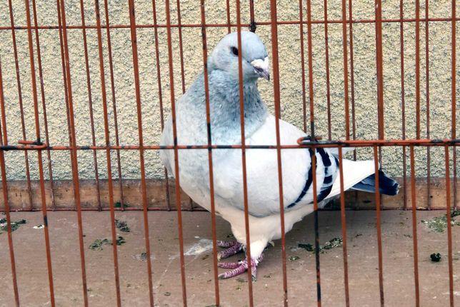 Gołębie Standard