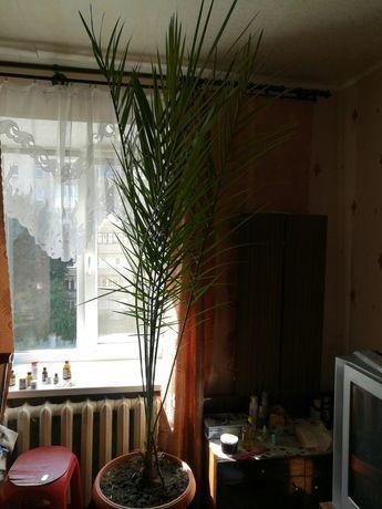 Пальма финиковая для офиса