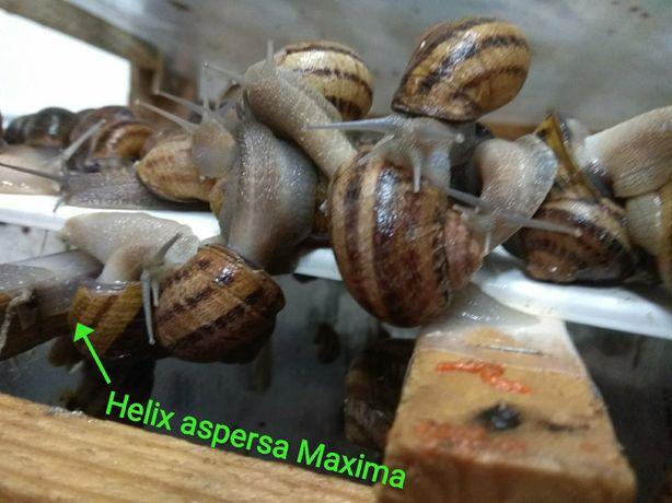 Продам маточне поголів'я равлика Helix aspersa Maxima. Улитка . Равлик