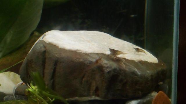 Креветки равлики