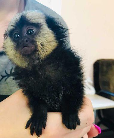 Редкая игрунка Жоффруа - карликовая обезьянка Callithrix geoffroyi