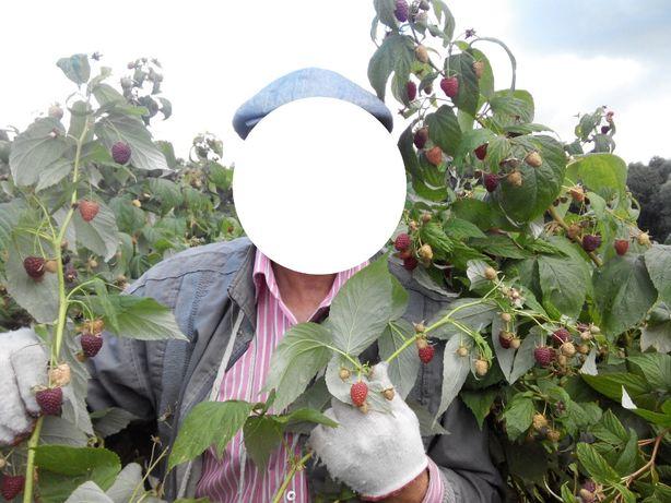 Продам саженцы малины ремонтантных сортов родит 2 раза в год
