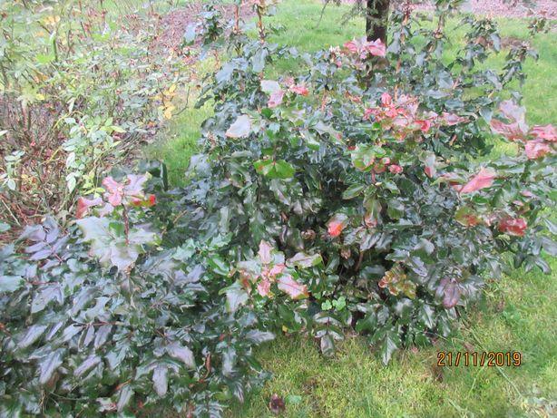 gałązki ciete mahonii pospolitej do dekoracji
