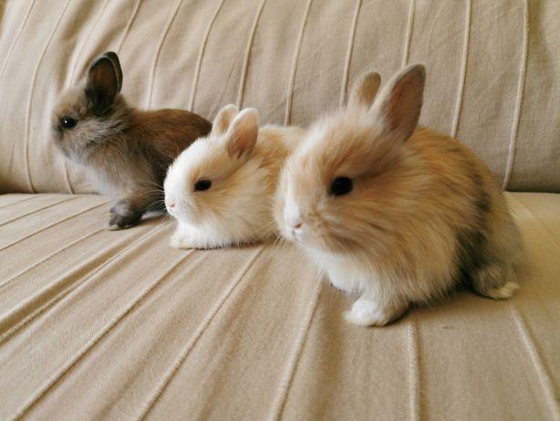 KIT completo coelhos anões mini, várias cores(muito dóceis)