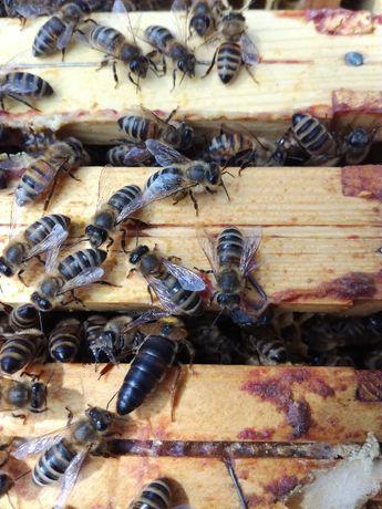 matki pszczele nieunasiennione, troiseck, karpatka, primorska, pszczoł