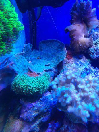 Echinophylia morskie zamienie