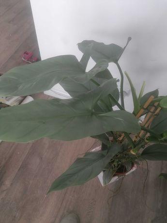 Philodendron silver hastatum
