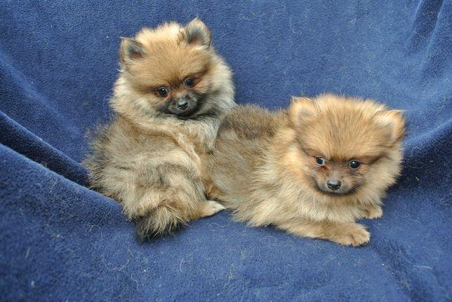 Pomeranian szpic miniaturowy