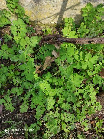 Glistnik Jaskółcze ziele