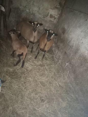 Owce kameruńskie z młodym barankiem