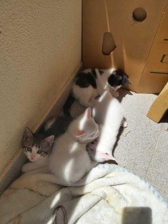 Dá-se gatinhos bebé