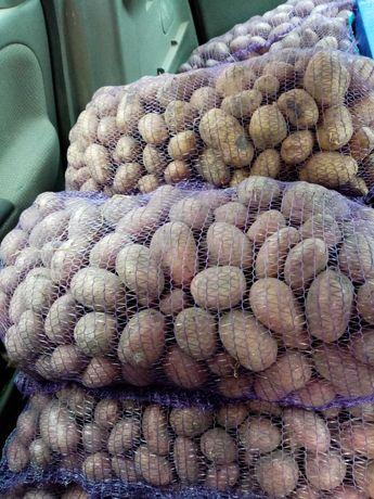 Продам картоплю червоних і жовтих сортів